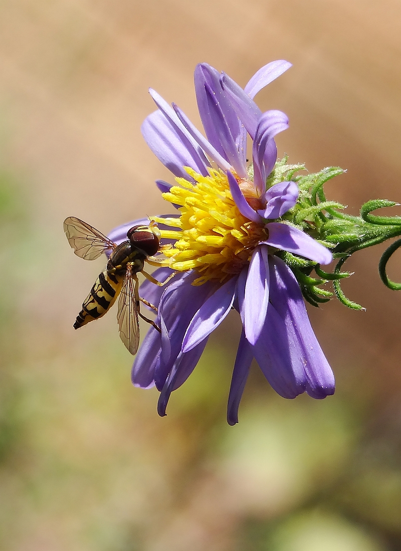 A hover fly lands on a wildflower.
