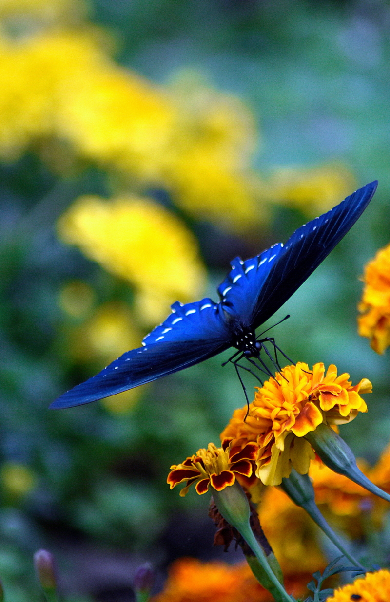 butterfly-marigold-blue-wings_v1-resized
