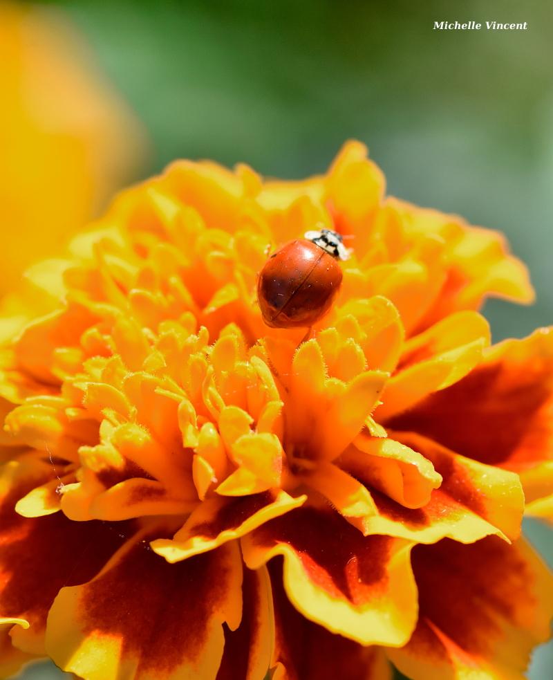 ladybug-marigold-topg-resize