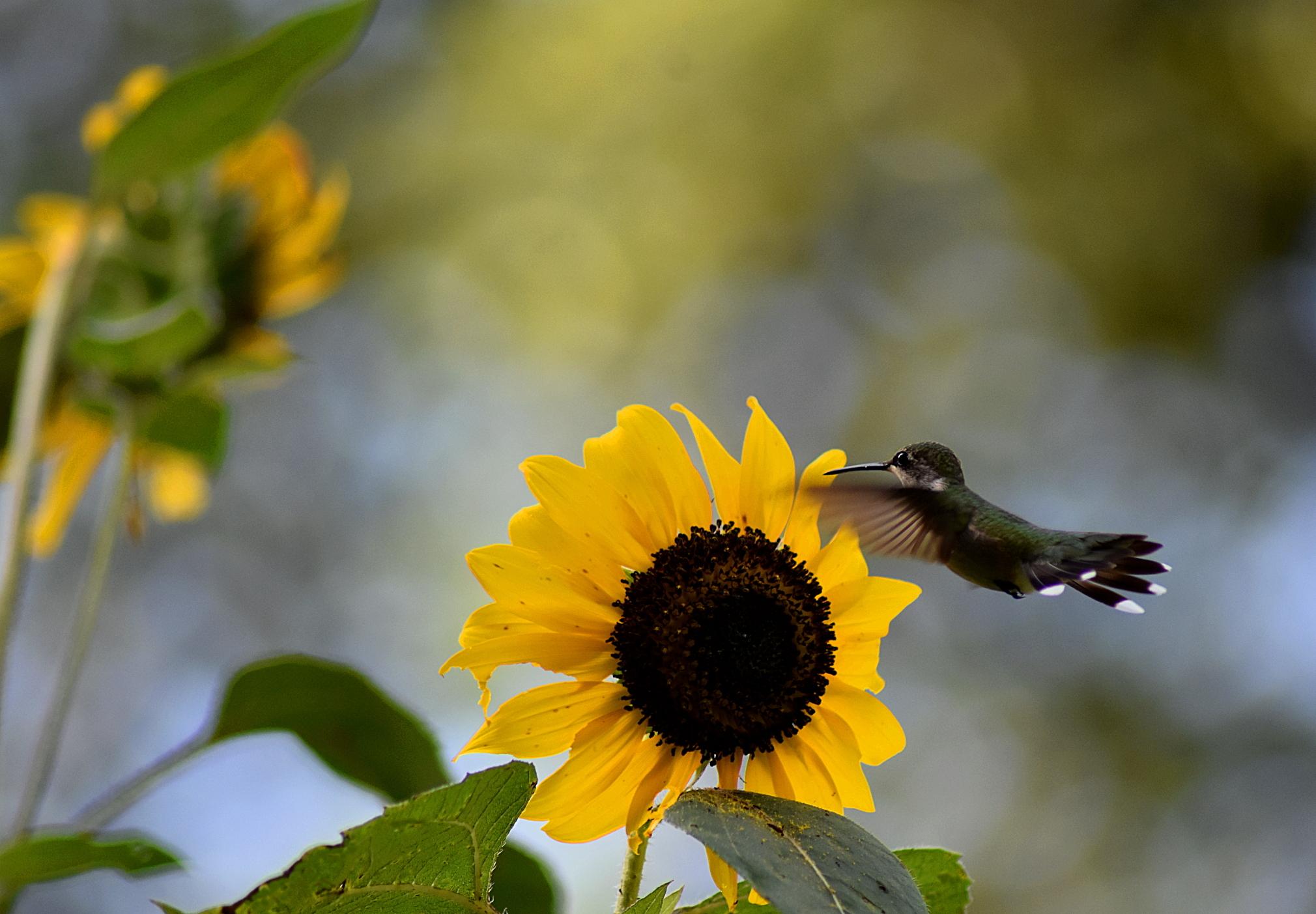 sunflower-hummer-4-resize-sat-g